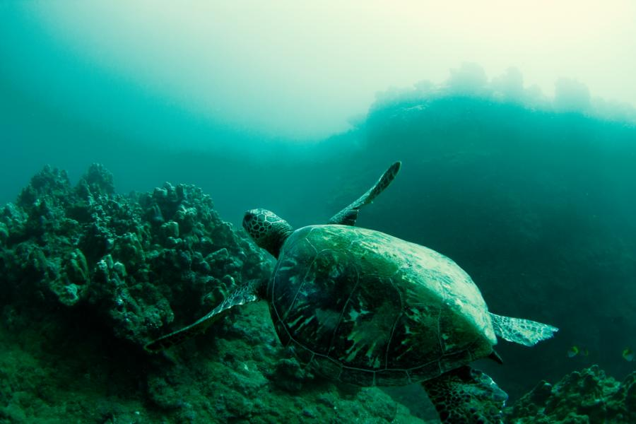 Turtle in Hawaii c WSL Cestari